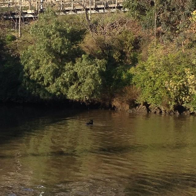 #seal in the #yarrariver near the #churchstreetbridge #melbourne