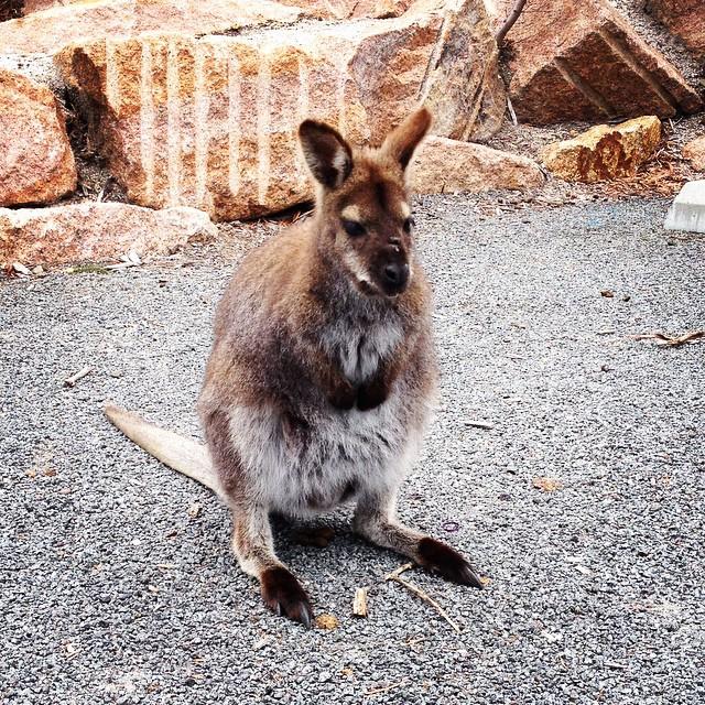 #wineglassbay #tasmania #kangaroo #wallaby #colesbay
