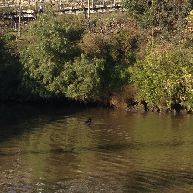 #seal in the #yarrariver near the #churchstreetbridge #melbourne